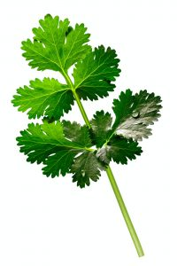 Coriander (Cilantro, Coriandrum sativum), paths
